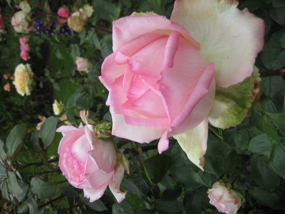 Honoré de Balzac et Rose du Petit Prince