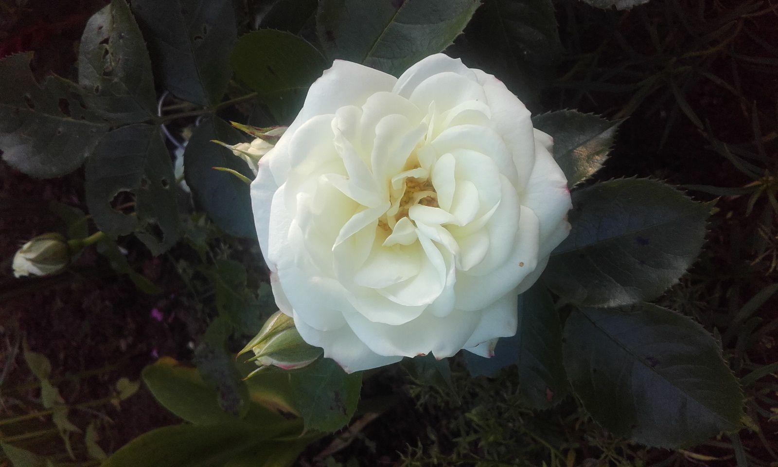 Rose de Rescht et Champollion