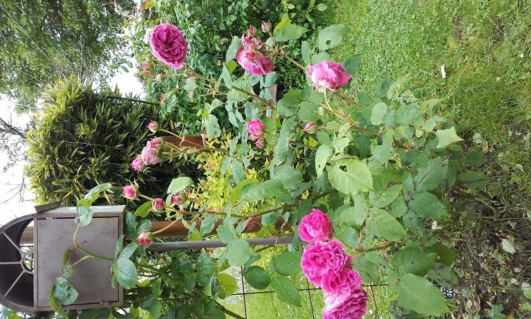 Mme de Sévigné et Crocus Rose