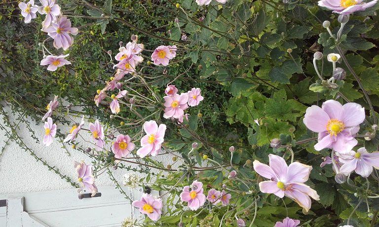 Des papillons roses au jardin : les Anémones du Japon !