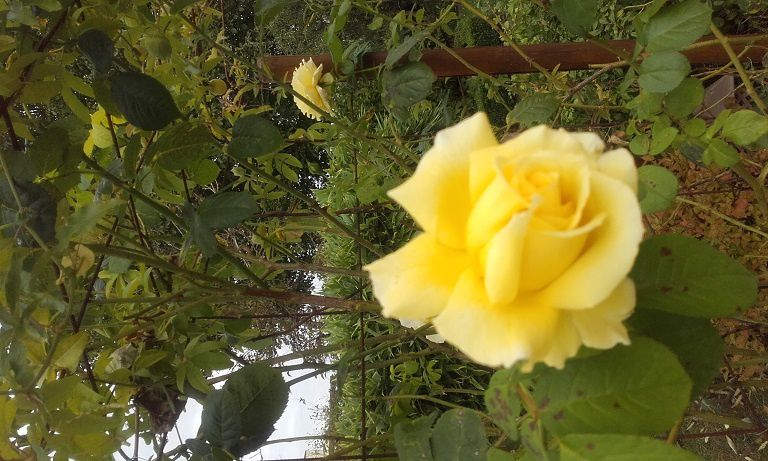 Roses de septembre