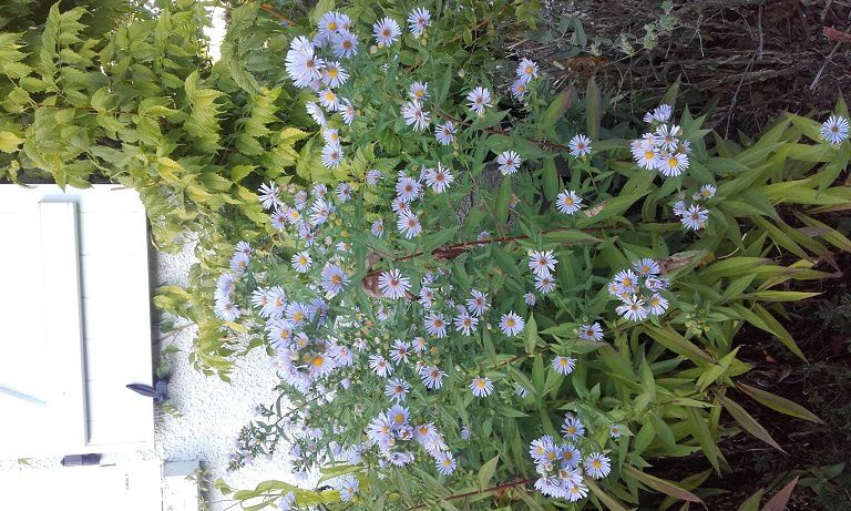 Asters : les as de l'automne !