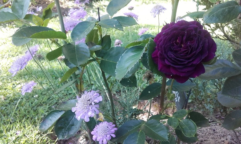 Rosier 'Purple Eden' et Scabieuse