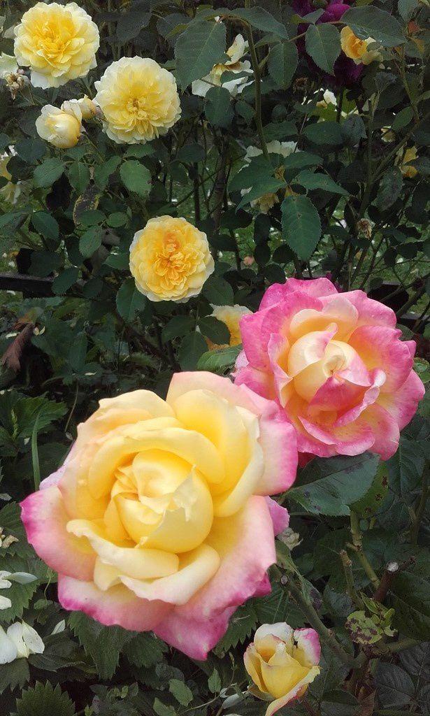 Quels rosiers pour ma roseraie ?