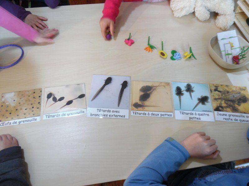 Nous avons également revu le cycle de vie de la grenouille avec les nomenclatures.