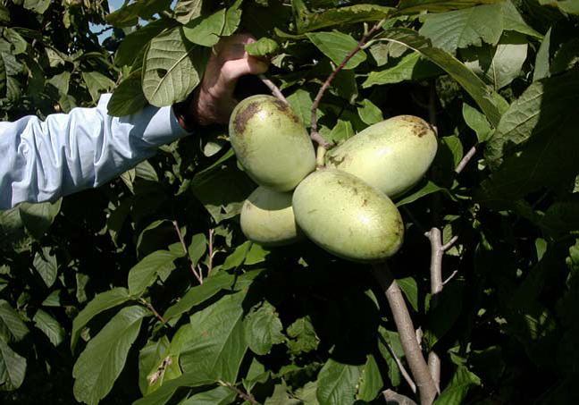 Pawpaws, local native fruits, are ready for you