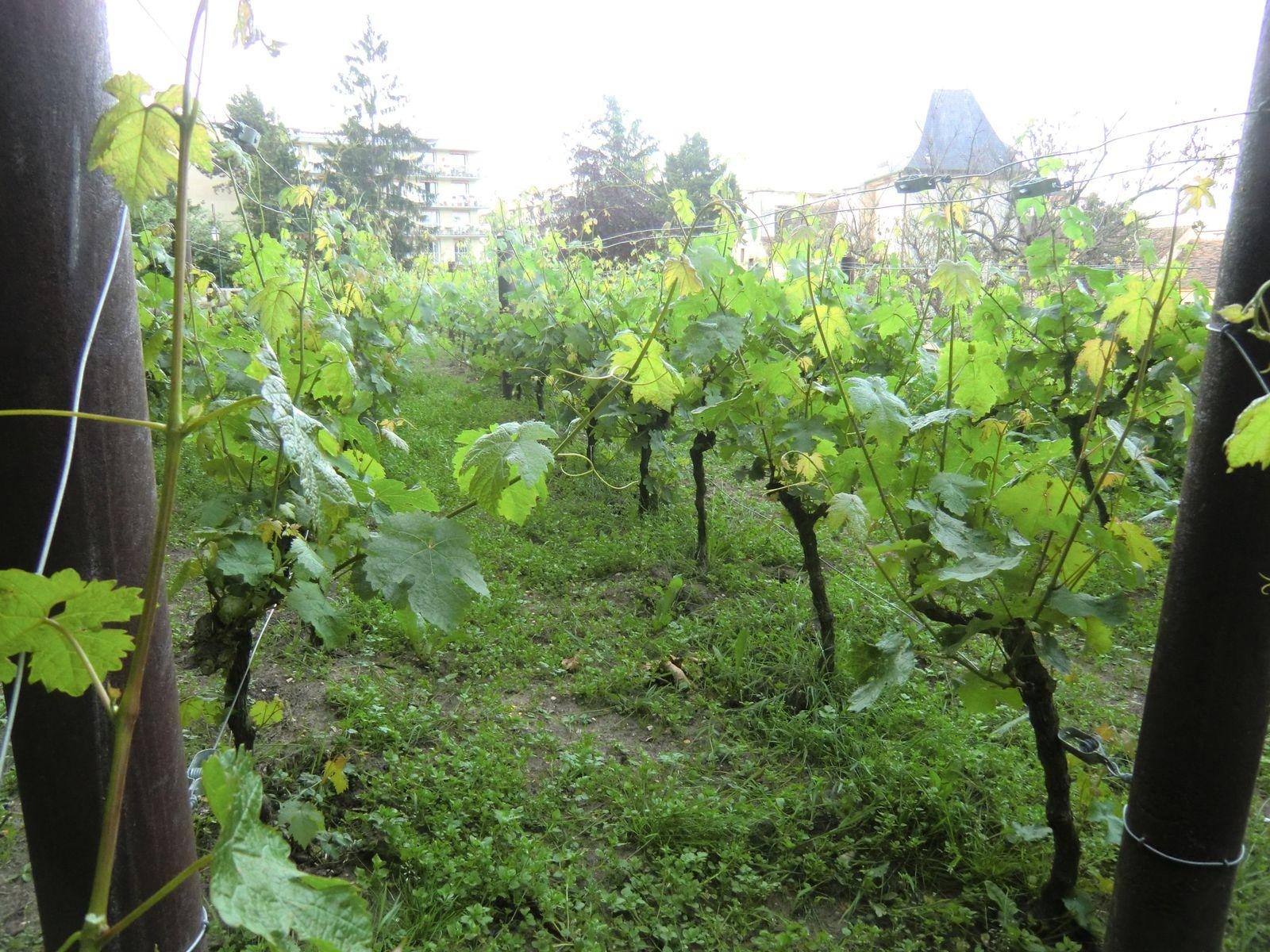 la vigne au-dessus du jardin, vers la fin septembre c'est les vendanges, puis on y vient déguster le vin