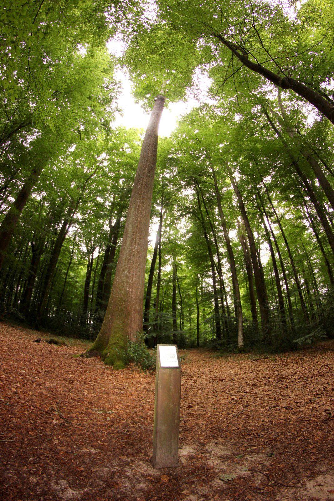 Le chêne Georges France Muriel symbolise la liberté de l'homme