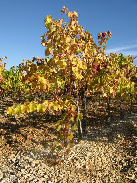 Les Vignes Provençale