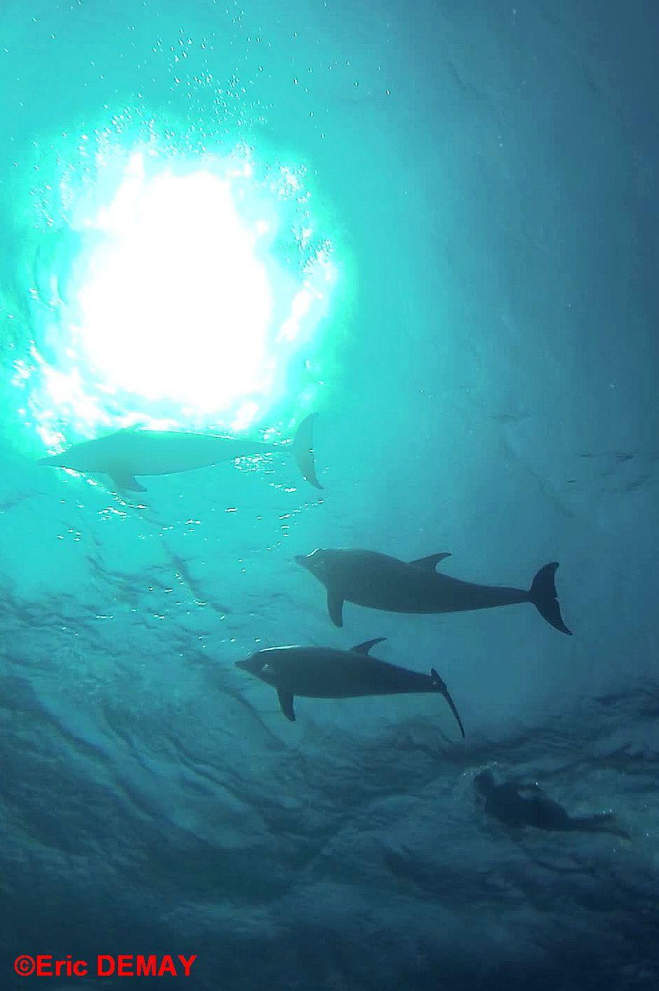 Les jeunes dauphins à l'abri nageant sous leurs mères