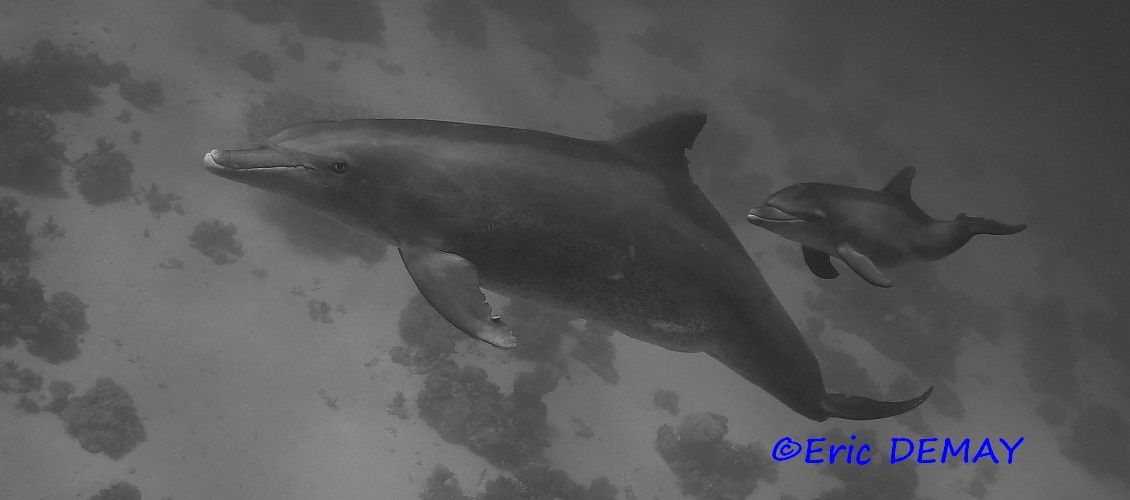 Pictures of dolphins Tursiops aduncus