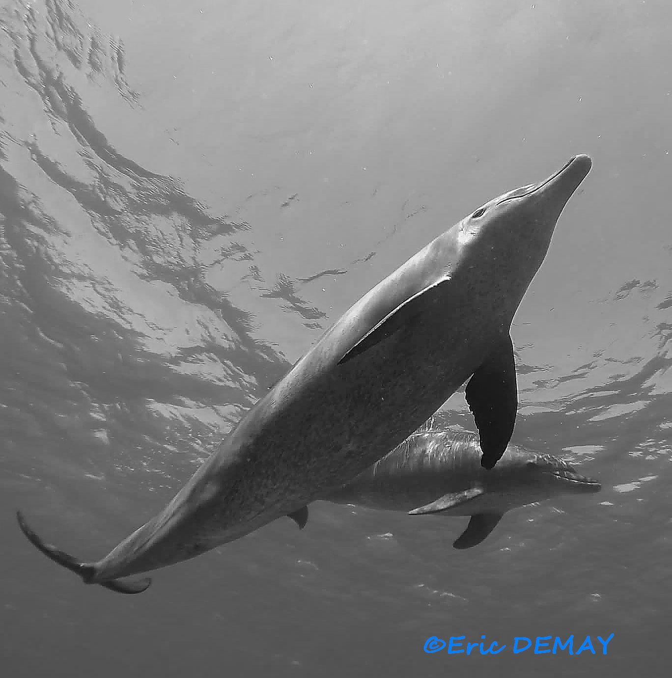 Plus la mer est calme, plus les dauphins participent.