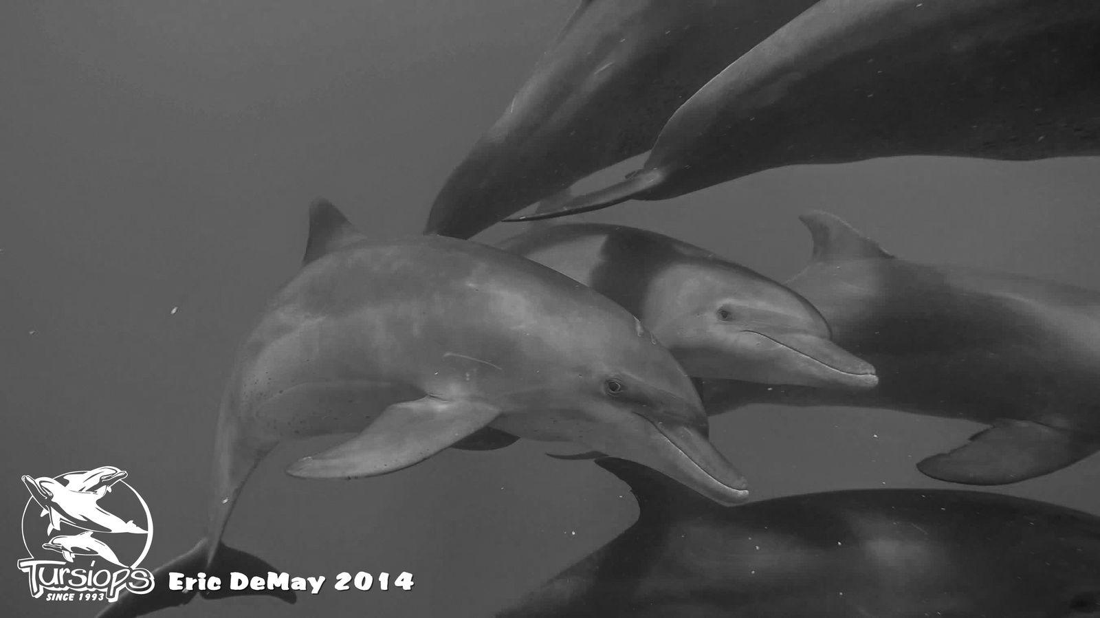 Les dauphins trés nombreux le 29 Octobre.