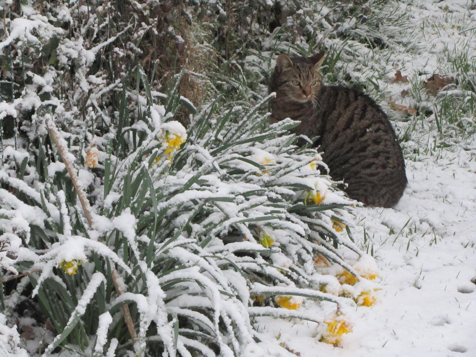 C'est la deuxième fois que les jonquilles sont sous la neige. Elles n'ont pas de chance !