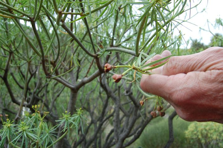 Euphorbia lamarckii (fruit)