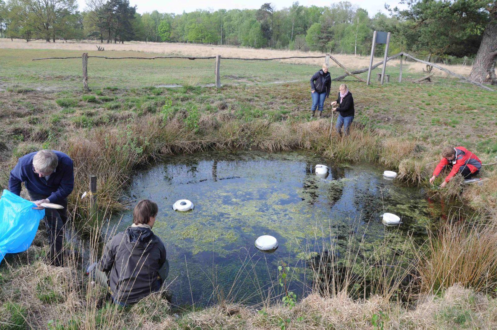 Démonstration de l'utilisation de nasses pour le suivi des urodèles à Recke (Allemagne) - mai 2012