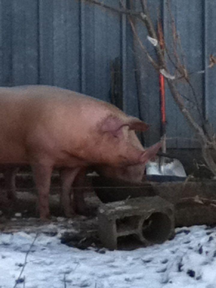 Leurs cochons qui boivent le petit lait, cette ferme pédagogique possède également des poules,canards,lapins et accueille des écoles pour des visites
