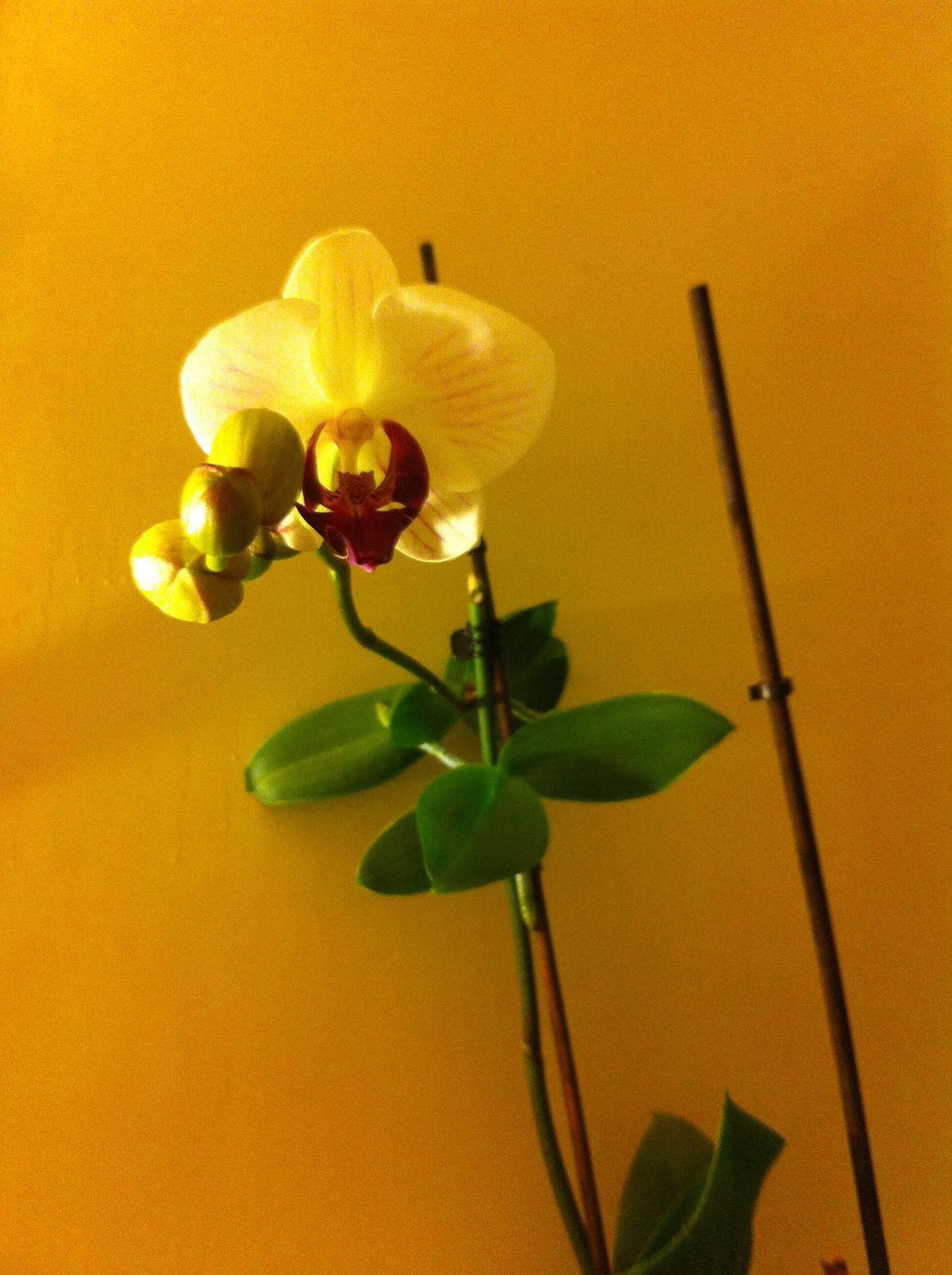 j'ai réussi à faire revivre une orchidée - je n'ai pas du tout la main verte (je précise)
