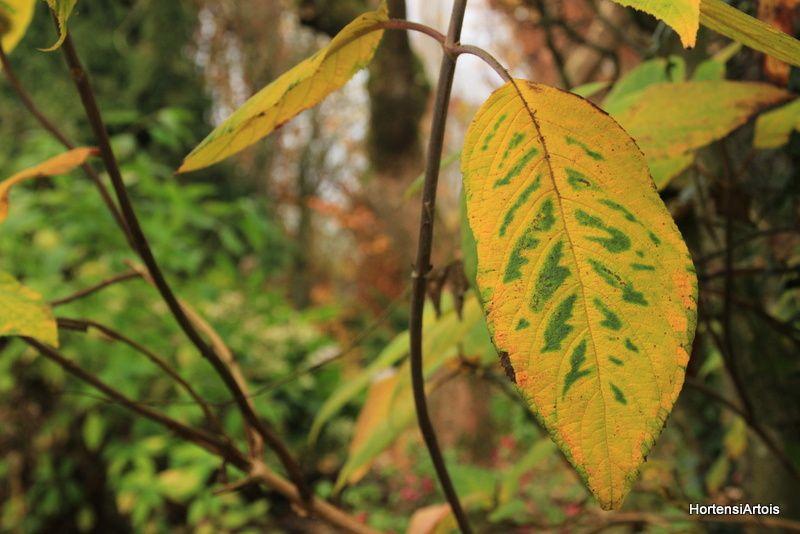 aspera x villosa 'Mauvette' , aspera 'Macrophylla'