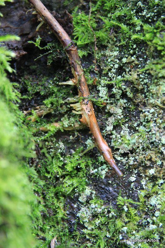 En décembre 2015, un désherbage malencontreux coupe la tige principale de la plante. En juin 2016, l'hydrangea petiolaris pousse bien sur son support, un charme en têtard centenaire. Le miracle de la vie en symbiose!!! A suivre...
