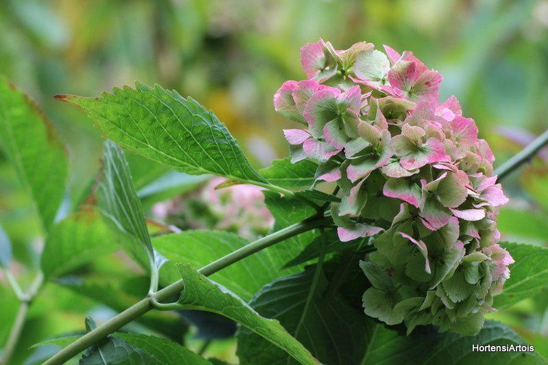 H. 'Mme Emile Mouillère'. Le plus bel hortensia blanc, il reste magnifique en automne. Obtenteur Emile Mouillère 1909.