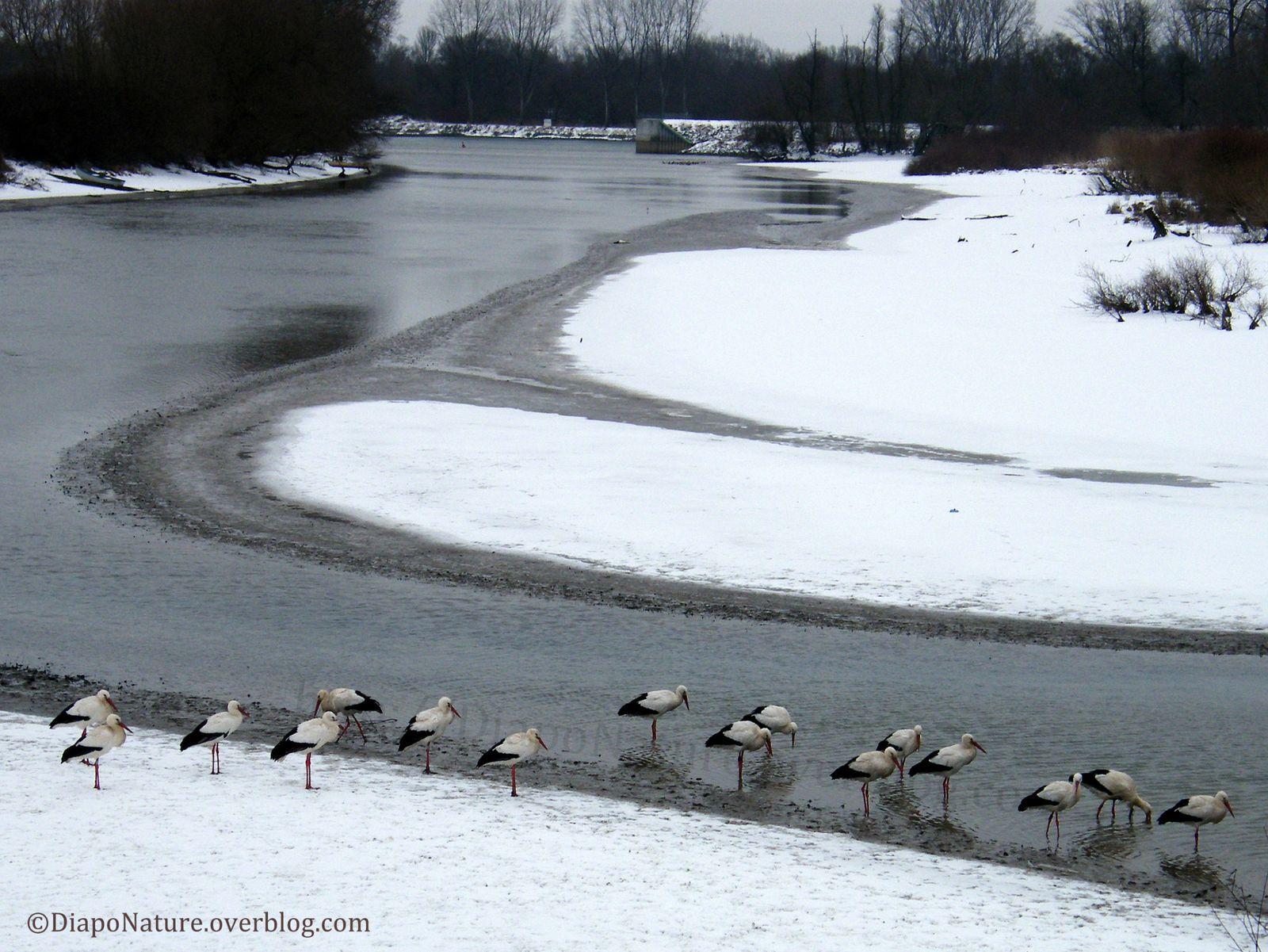 Cigognes affamées espérant trouver pitance dans la Sauer, au fond le Rhin