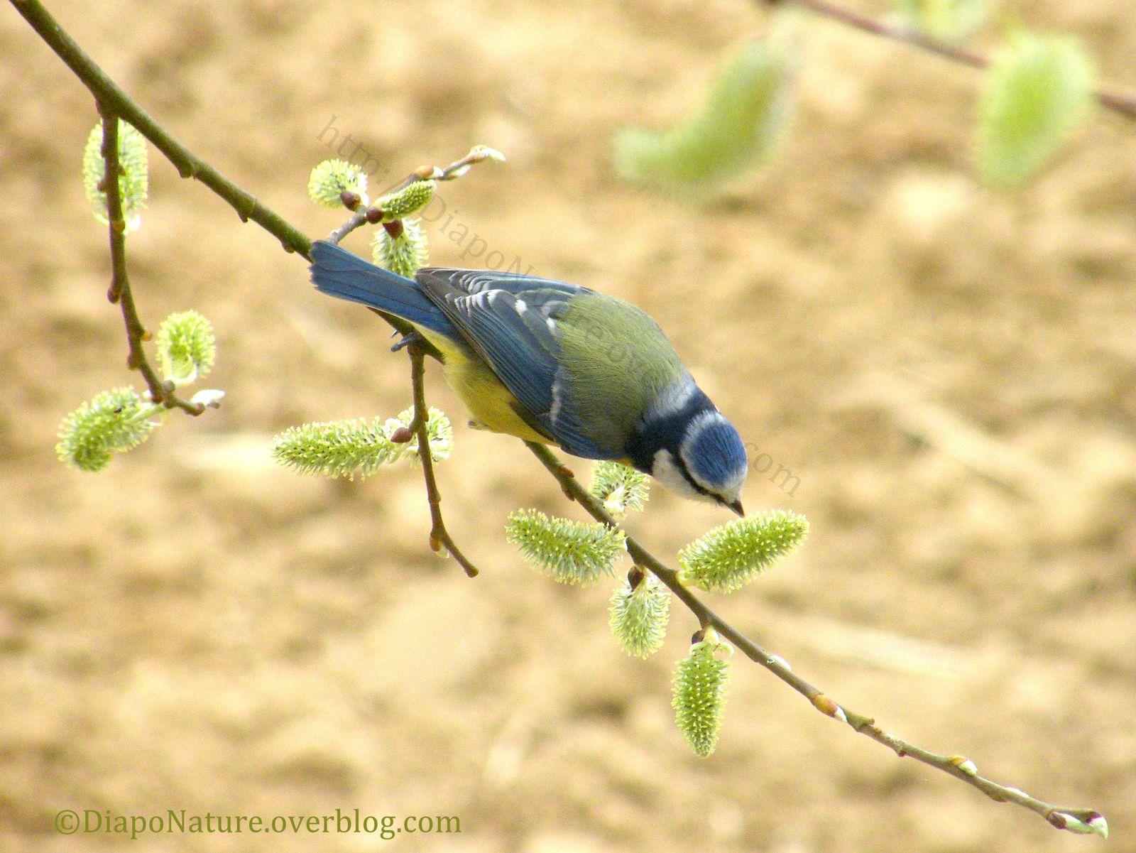 Mésange bleue (Cyanistes caeruleus) sur une branche de saule marsault mâle