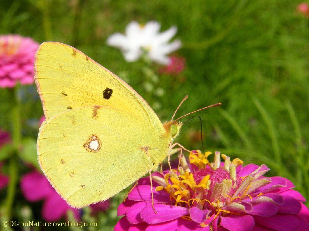 Se pose toujours les ailes fermées, il affectionne particulièrement les friches fleuries.