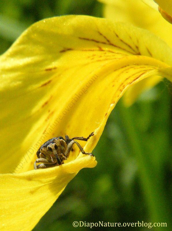 Charançon de l'iris des marais (2)