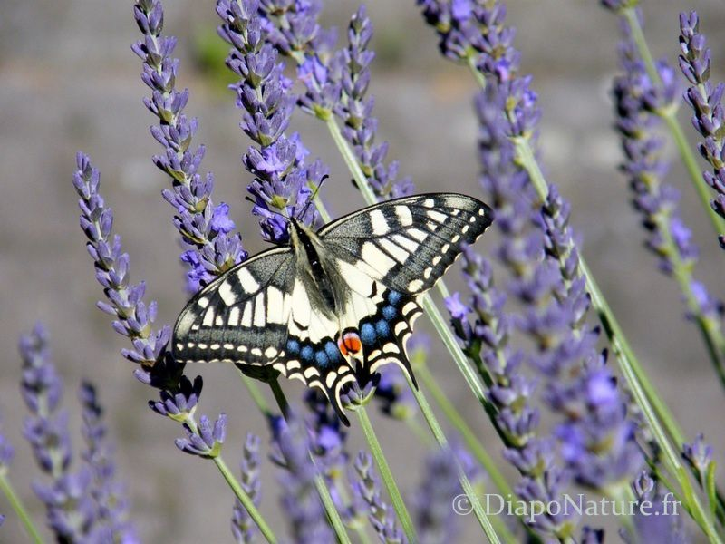 Machaon ou Grand porte-queue sur fleurs de lavande