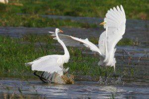Grandes aigrettes - Domaine des Oiseaux -  Octobre 2013
