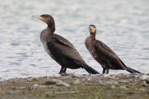 Grands cormorans - Domaine des Oiseaux -  Novembre 2013