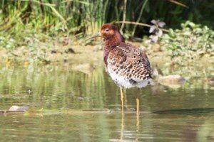 Combattant varié - Le Domaine des Oiseaux - Mai  2014