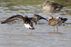 Combattants variés - Le Domaine des Oiseaux - Septembre  2013