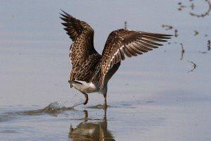 Combattant varié - Le Domaine des Oiseaux - Septembre  2014