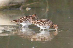 Bécassines des marais - Domaine des Oiseaux -  Septembre 2014