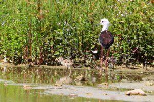 Echasse blanche - Domaine des Oiseaux - Juin 2014