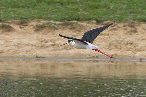 Echasse blanche - Domaine des Oiseaux - Avril 2014