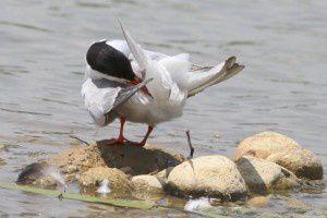Sterne Pierregarin - Le Domaine des Oiseaux - Juin 2014