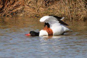 Tadorne de Belon - Le Domaine des Oiseaux - Mars 2014