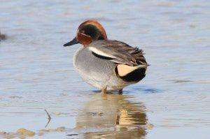 Sarcelle d'hiver - Le Domaine des Oiseaux - Février 2015