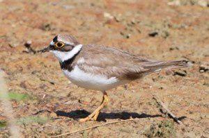 Petit gravelot - Domaine des Oiseaux -  Avril 2014