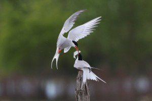 Sterne Pierregarin - Le Domaine des Oiseaux - Avril 2015