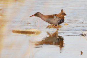 Râle d'eau - Le Domaine des Oiseaux - Février 2015