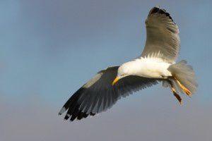 Goéland leucophée - Domaine des Oiseaux -  Décembre 2013