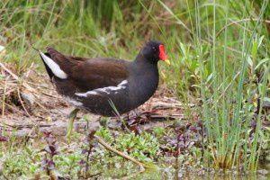Gallinule poule d'eau - Le Domaine des Oiseaux - Mai 2014