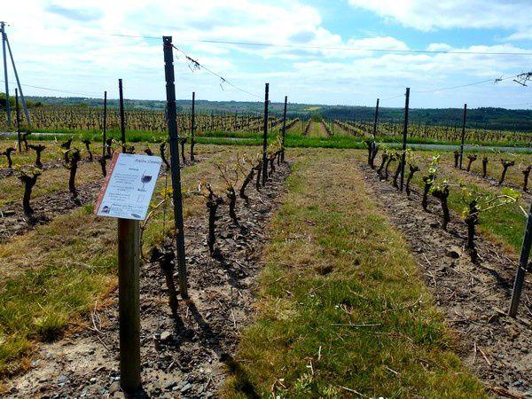 Le GR3 grimpe dans les vignes des Coteaux du Layon