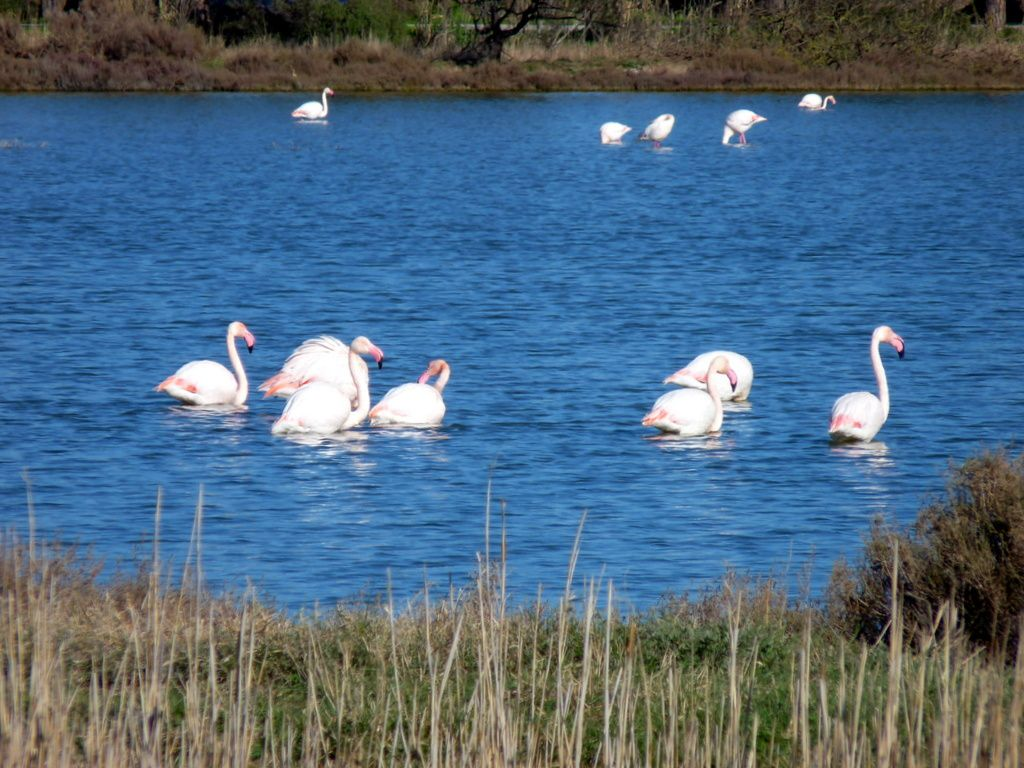 Flamants roses à Hyères