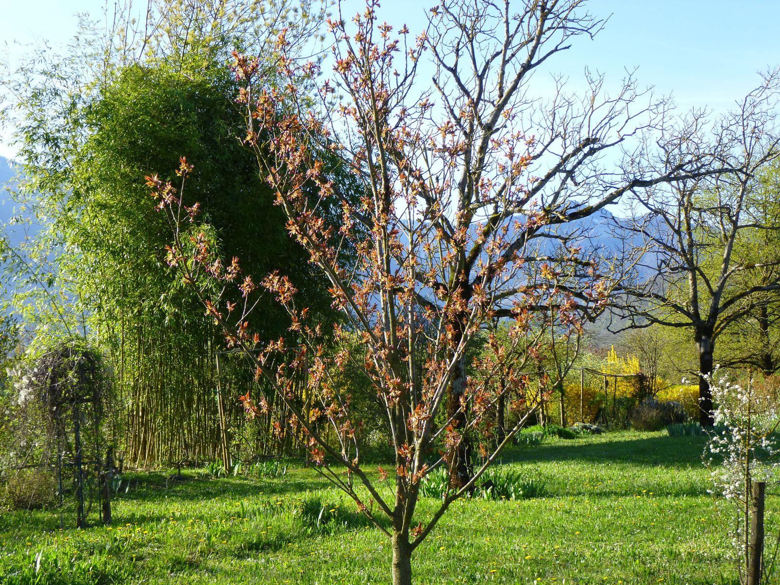 le prunus va laisser éclater toutes ses fleurs,