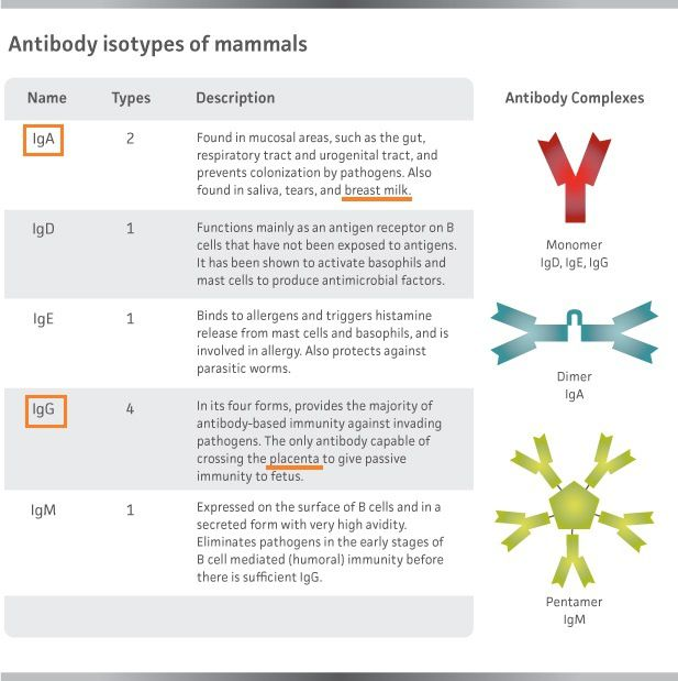 Les différents types d'anticorps: les IgG sont transmis via la barrière placentaire, les  IgA par l'allaitement.  (http://bioatla.com/educational-appendix/antibody-isotypes/, https://en.wikipedia.org/wiki/Antibody)